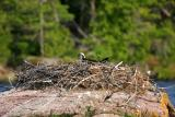 Osprey on nest.JPG