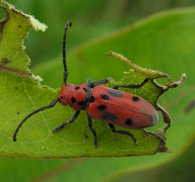 Eastern Milkweed Longhorn beetle -- <i>Tetraopes tetraophthalmus</i> - 2