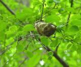 Cecropia cocoon