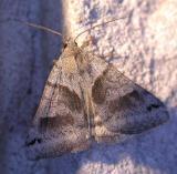 Caenurgina crassiuscula - 8738 - Clover Looper Moth