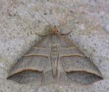 Colobochyla interpuncta - 8411