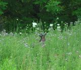 White-tailed deer -- Odocoileus virginianus