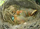 robins in herb garden