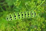 Black Swallowtail caterpillar-- Papilio polyxenes - top