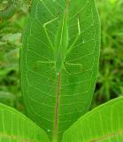 katydid on milkweed leaf -- not yet ID'd