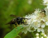 Yellowjacket -- and pair of Phymata sp. (upper right)