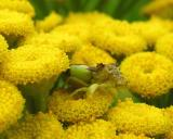Ambush Bug -- female -- probably Phymata erosa -- on tansy flowers