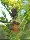 Predatory stinkbug feeding on caterpillar - view 1