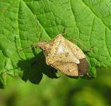 Stinkbug -- not yet ID'd