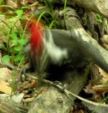 Pileated woodpecker -- pecking at stick