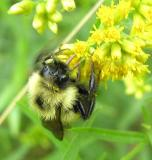 Bumblebee with black wings