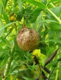 Argiope aurantia egg case