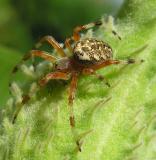 Larinioides cornutus -- view 1