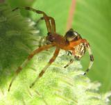 Larinioides cornutus -- view 4