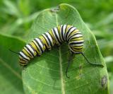 Monarch caterpillar - 2