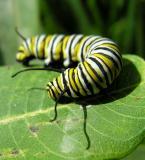 Monarch caterpillar - 4