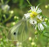 Cabbage White - Pieris rapae - view 1