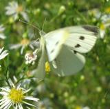 Cabbage White - Pieris rapae - view 2