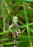 Pinetree Spurthroated Grasshopper (?) - Melanoplus punctulatus (?) - front