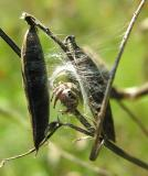 Jumping spider inside nest on vetch plants