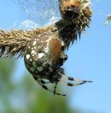 Araneus trifolium on Timothy grass head - detail