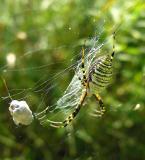 Argiope trifasciata with prey