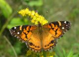 American Lady - Vanessa virginiensis - top