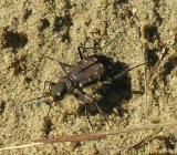 tiger-beetle-3-sm.jpg