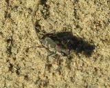 tiger-beetle-6-sm.jpg