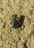 tiger-beetle-7-sm.jpg