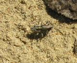 tiger-beetle-8-sm.jpg