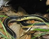 Thamnophis sirtalis sirtalis - Eastern Garter Snake - view 1