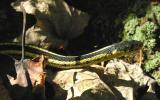 Thamnophis sirtalis sirtalis - Eastern Garter Snake