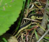 Thamnophis sirtalis sirtalis -- Eastern Garter Snake