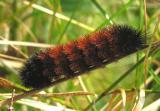 Pyrrharctia isabella -- Isabella Tiger Moth