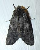 Lithophane unimoda (?) - 9916 - Dowdy Pinion Moth (?)