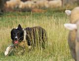 working lambs