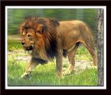 West Palm Beach Florida & Lion safari