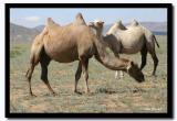 Grazing Camels, Tov Aimag