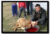 Local Man Slaughters a Sheep for Dinner, Altai Tavanbogd National Park