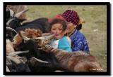 Milking Sheep, Bayan-Olgii Aimag