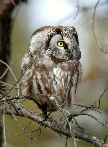 Boreal Owl 4