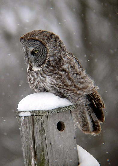 Great Gray Owl 3