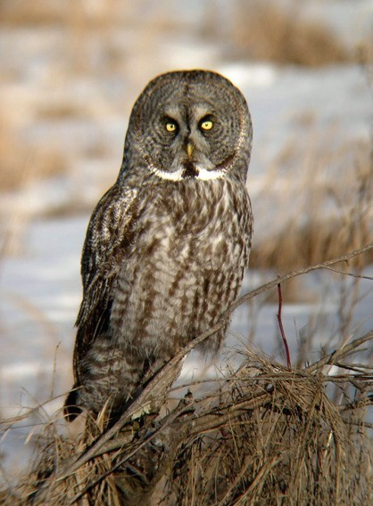 Great Gray Owl 4
