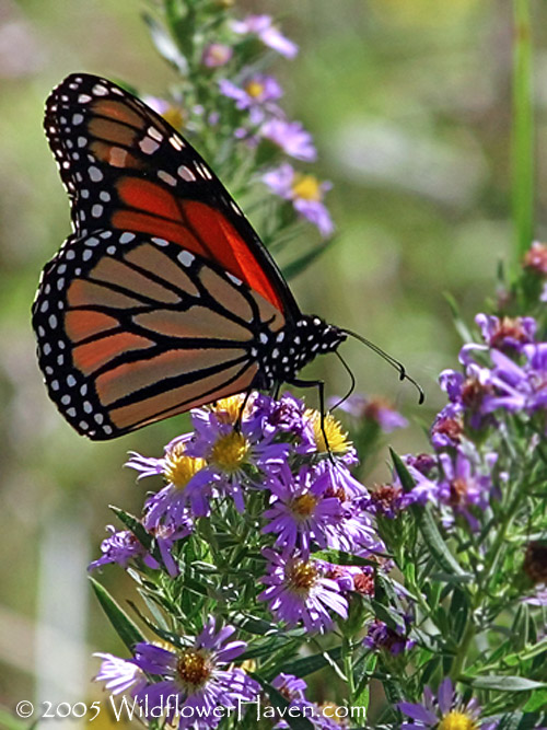 Monarch butterfly on mist flower