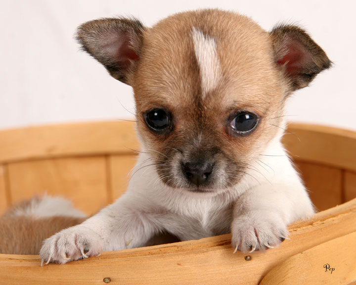 chihuahua puppies photo - steve pepple photos at pbase