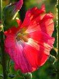 Mallow in the Sunlight
