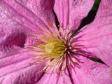 Clematis Closeup