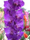 Gladiolus in Purple