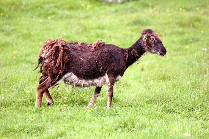 Soay sheep moulting!